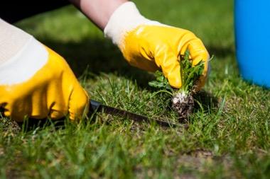 Unkraut mithilfe von Dünger und Messer vom Rasen entfernen