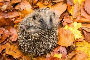 Verwendung von Herbstlaub als Winterquartier für Tiere